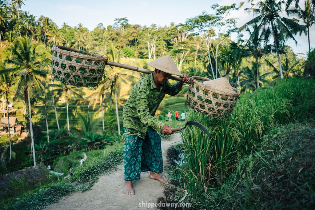 Bali local on Tegalalang rice terraces
