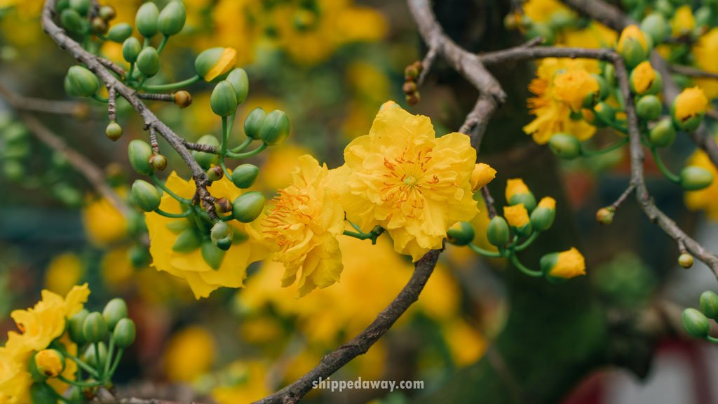 Yellow apricot blossom sold for Tet, Vietnamese New Year